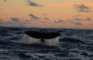 Projeto de Monitoramento Ambiental executado pela Petrobras registra 27 espécies de baleias e golfinhos na Bacia de Santos ao longo de 5 anos
