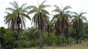 O Projeto Conexão Mata Atlântica vai investir R$ 5 milhões para promover o cultivo da palmeira macaúba e os serviços ecossistêmicos